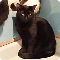 American Shorthair Cat for adoption in Pueblo, Colorado - Carlile