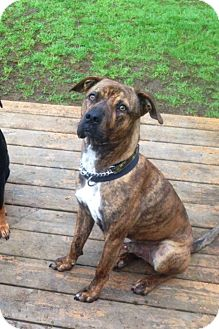 Plott Hound/Pit Bull Terrier Mix Dog for adoption in Vancouver, British Columbia - Westy