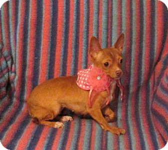 Chihuahua Dog for adoption in WOODSFIELD, Ohio - CHARM