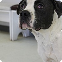 American Pit Bull Terrier Mix Dog for adoption in Yukon, Oklahoma - Victor