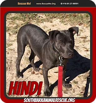 American Staffordshire Terrier Mix Puppy for adoption in Pensacola, Florida - Hindi