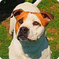 Pit Bull Terrier/American Bulldog Mix Dog for adoption in Washburn, Missouri - Harvey (Paul)