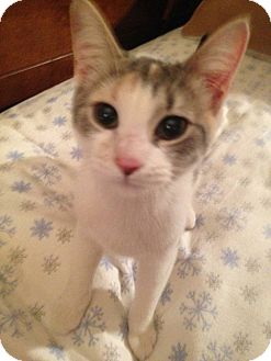 Domestic Shorthair Kitten for adoption in Rockford, Illinois - Snickers
