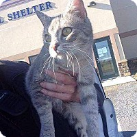 Adopt A Pet :: Mittens - Chambersburg, PA