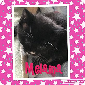Domestic Shorthair Kitten for adoption in Mount Laurel, New Jersey - Melaina (Hera's babies)
