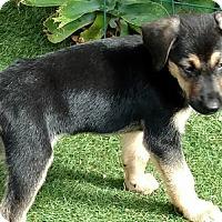 Adopt A Pet :: Duffy - Downey, CA