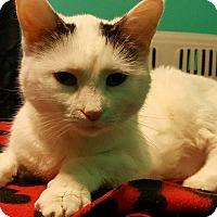 Adopt A Pet :: Bella Boop - South Bend, IN