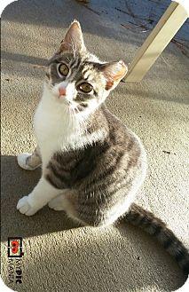 Domestic Shorthair Cat for adoption in Virginia Beach, Virginia - Mona