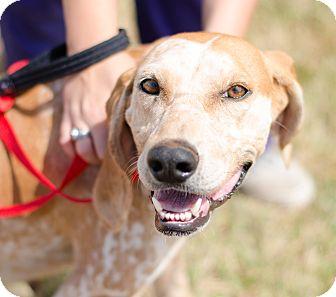 English (Redtick) Coonhound Mix Dog for adoption in Seneca, South Carolina - Ruby $125