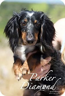 Dachshund Dog for adoption in San Antonio, Texas - Parker Diamond