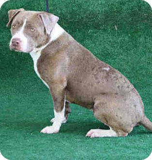 Pit Bull Terrier/American Staffordshire Terrier Mix Dog for adoption in cupertino, California - Peaches URGENT NEEDS RESCUE