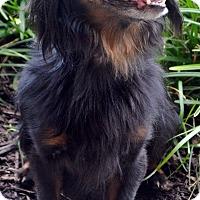 Adopt A Pet :: Basil - Bridgeton, MO