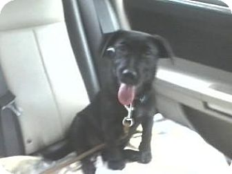 Labrador Retriever/Jack Russell Terrier Mix Puppy for adoption in Sarasota, Florida - Axel