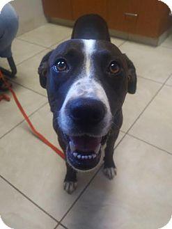 Boxer/German Shorthaired Pointer Mix Dog for adoption in Huntley, Illinois - Kona