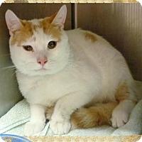 Domestic Shorthair Cat for adoption in Marietta, Georgia - HOOK