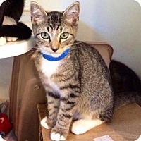 Domestic Shorthair Kitten for adoption in Smithtown, New York - Baen