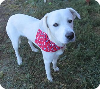 Great Pyrenees/Labrador Retriever Mix Dog for adoption in Enfield, Connecticut - Casper