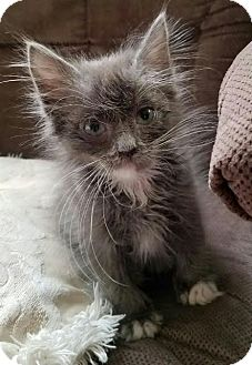 Domestic Longhair Kitten for adoption in Monrovia, California - Ashes
