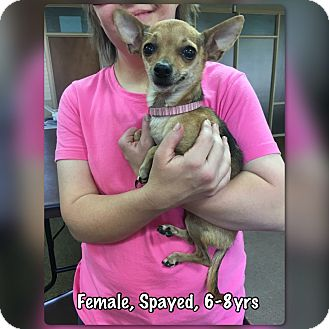 Chihuahua Mix Dog for adoption in Boerne, Texas - Camilla