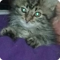 Domestic Shorthair Cat for adoption in Canal Winchester, Ohio - Clover