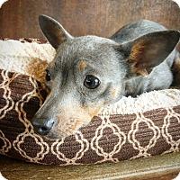 Adopt A Pet :: Elsa - Fredericksburg, TX