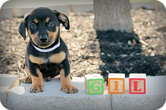 Dachshund Mix Puppy for adoption in Austin, Texas - Gil