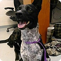 Adopt A Pet :: Remington - Fort Riley, KS