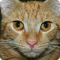 Adopt A Pet :: Tiger - North Branford, CT