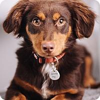 Adopt A Pet :: Dozer - Portland, OR