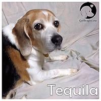 Adopt A Pet :: Tequilla - Novi, MI