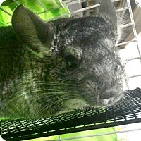 Adopt A Pet :: Twinkie - Patchogue, NY
