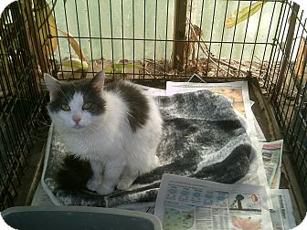 Domestic Mediumhair Cat for adoption in Alliance, Ohio - FOUND in Maximo