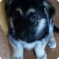 Adopt A Pet :: NIKO - Winnipeg, MB