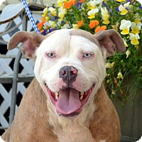 American Bulldog Mix Dog for adoption in Jackson, Mississippi - Blue Bell