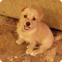 Adopt A Pet :: Benji - Surprise, AZ