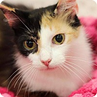 Calico Cat for adoption in knoxville, Tennessee - Autumn Female (Sponsored FREE)