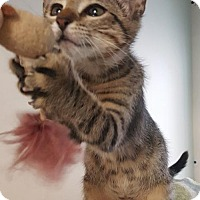 Adopt A Pet :: Iago - Arlington, TX
