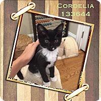 Adopt A Pet :: Cordelia - Raleigh, NC