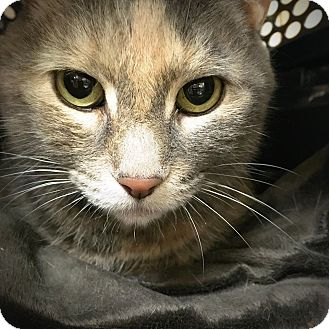 Domestic Shorthair Cat for adoption in Philadelphia, Pennsylvania - GRACEE!