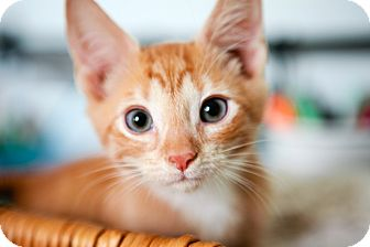 Domestic Shorthair Kitten for adoption in Jacksonville, Florida - Pekoe