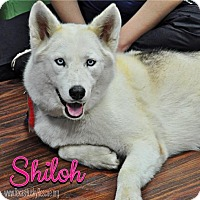 Adopt A Pet :: Shiloh--Foster needed! - Carrollton, TX