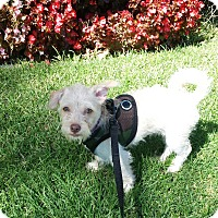 Adopt A Pet :: Billy Bob - Encino, CA