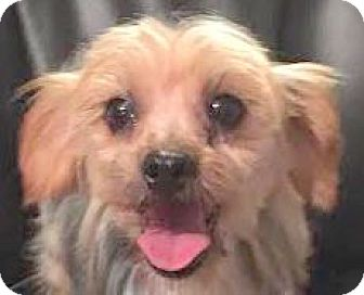 Yorkie, Yorkshire Terrier Dog for adoption in MINNEAPOLIS, Kansas - Fancy