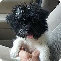 Adopt A Pet :: Pixie - Denver, NC