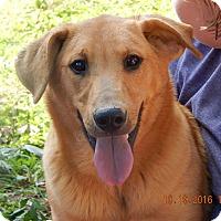 Golden Retriever/German Shepherd Dog Mix Puppy for adoption in Niagara Falls, New York - Hank (60 lb) Video!