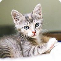 Domestic Shorthair Kitten for adoption in Austin, Texas - Cher