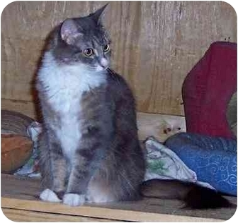Domestic Mediumhair Cat for adoption in Summerville, South Carolina - Precious