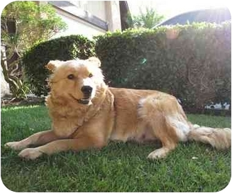 Chow Chow/Golden Retriever Mix Dog for adoption in Los Alamitos, California - Sadie
