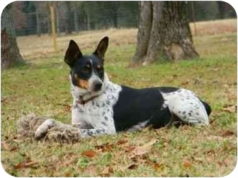 rat terrier australian cattle dog mix bindy adopted dog 1138 muldrow ok australian 9383