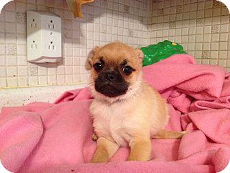 Pug Pomeranian Mix Breed | Dog Breeds Picture